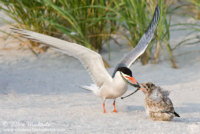 Common Tern (feeding chick)