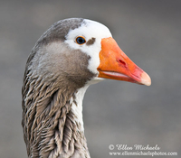 Greylag x Domestic Goose