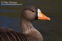 Greater White-fronted Goose (portrait)