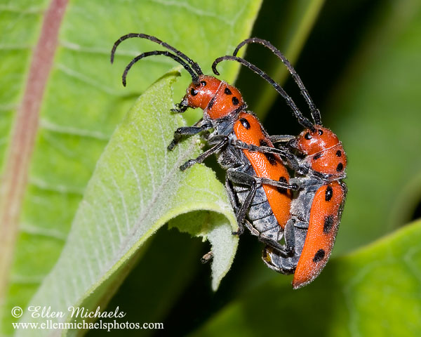 Red Milkweed Beetle (mating)