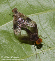 Snipe Fly (mating) - Chrysopilus quadratus