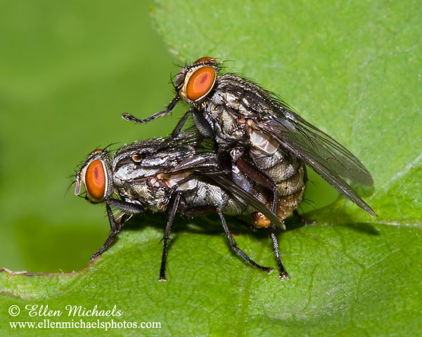 how insects fly with Flesh Fly 4996 on Flesh fly 4996 as well Page 11 furthermore Content 26187475 4 besides Rat Control further Best Handheld Bug Zapper Rackets.