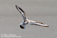 Piping Plover (in flight)