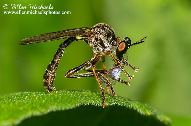 Robber Fly (with prey) - Dioctria hyalipennis