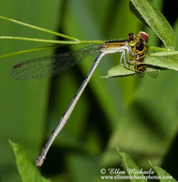 Citrine Forktail (female) - Ischnura hastata