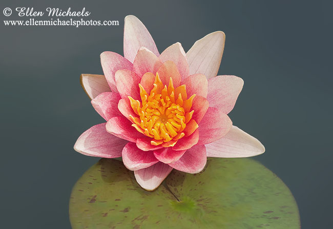 Water Lily w/ Lily Pad