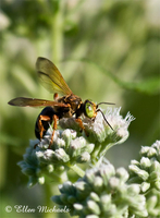 Square-headed Wasp - Tachytes