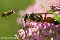Great Golden Digger Wasp and Weevil Wasp