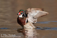 Wood Duck (wing flap)