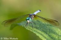 Blue Dasher Dragonfly (male) - Pachydiplax longipennis