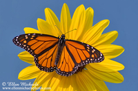 Monarch on Sunflower