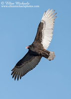 Turkey Vulture (in flight)