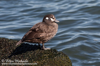 Harlequin Duck (female)