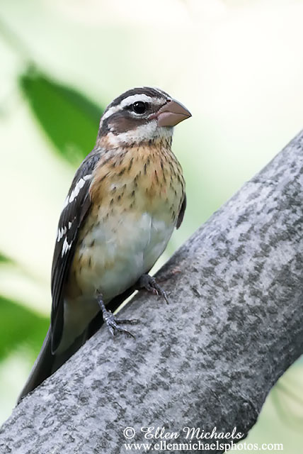 Rose-breasted Grosbeak (immature male)