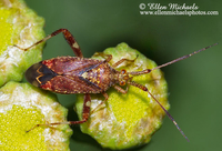 Clouded Plant Bug - Neurocolpus