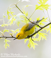 Prothonotary Warbler