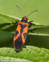 False Milkweed Bug - Lygaeus turcicus