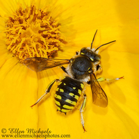 Wool-carder Bee - Anthidium manicatum