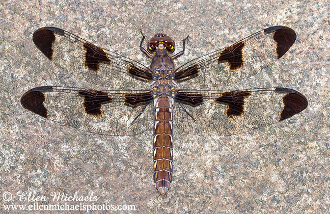 Common Whitetail (female) - Plathemis lydia