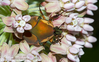 Green June Beetle - Cotinas nitida