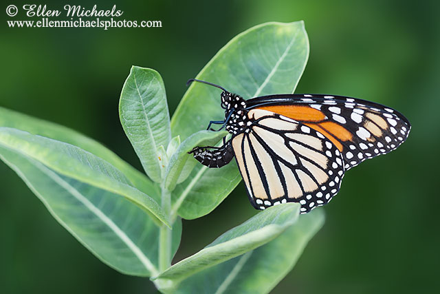 Monarch Laying an Egg (ovipositing)