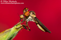 Robber Fly (with prey) - Holcocephala