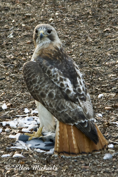 Pale Male Red-tailed Hawk
