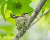 Ruby-throated Hummingbird at Nest