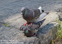 Rock Pigeon (Rock Dove) - mating