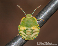 Green Stink Bug Nymph - Chinavia hilaris