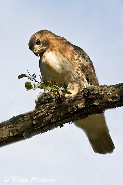 Red-tailed Hawk (Lola)