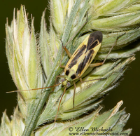 Two-spotted Grass Bug - Stenotus binotatus