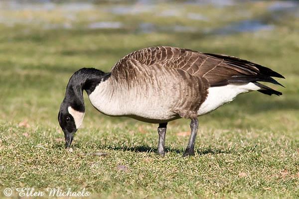 Canada Goose Accessories Vw