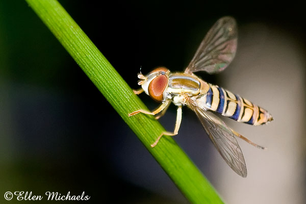 Syrphid Flower Fly - Toxomerus politus