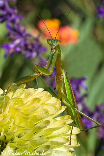 Chinese Mantis (Praying Mantis) - Tenodera