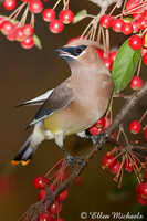 Cedar Waxwing (w/ orange tipped tail)