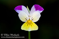 Wild Pansy -  Johnny Jump Up - Viola tricolor
