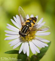 Syrphid (Flower) Fly - Helophilus