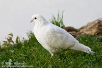 Rock Pigeon (white)