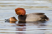 Redhead Duck  (mating)