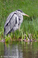 Great Blue Heron (juvenile)