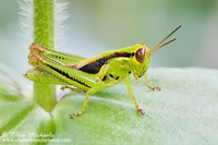 Grasshoppers, Katydids, Crickets
