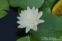 Water Lily w/ Lily Pads