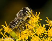 Leaf-cutter Bee - Megachile