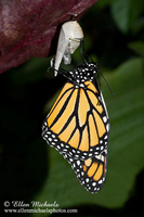 Monarch on Chrysalis